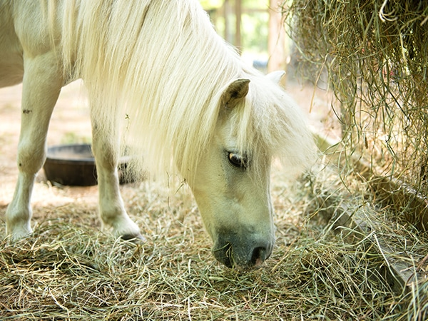 White miniature horse on farm in New Hampshire summer camp