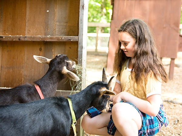 Young girl caring for two goats on farm in New Hampshire