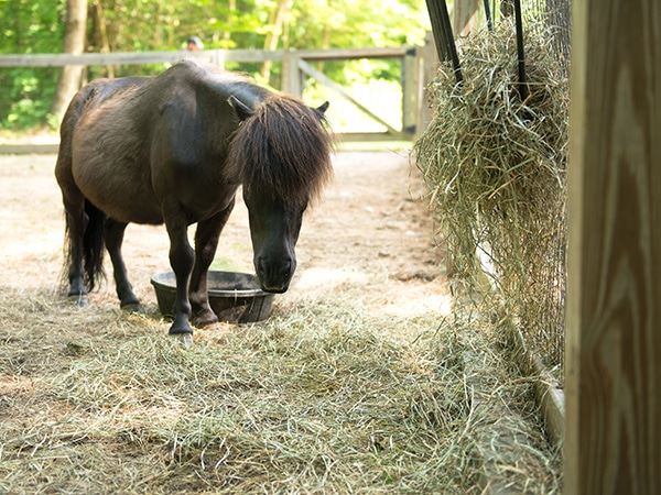 Brown miniature horse on farm in New England